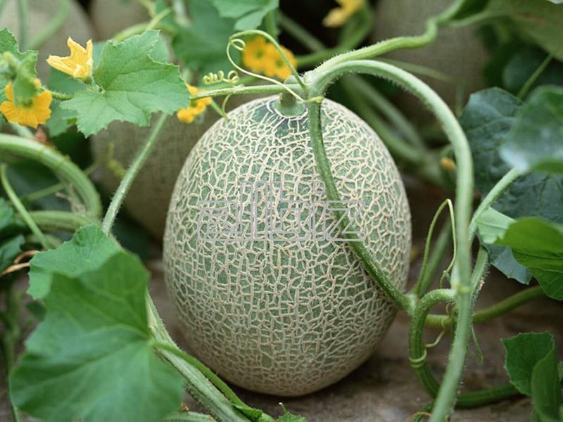 شراء Le melon